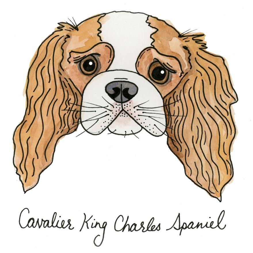 Cavelier King Charleston Spaniel