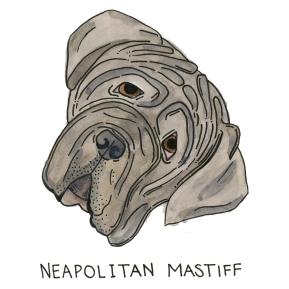 Neopolitan-Mastiff099
